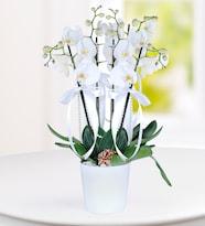 4 Dal Beyaz Phalaenopsis Orkide