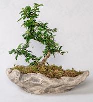 Dekoratif Saksıda Zelkova Bonsai