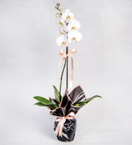 Tekli Beyaz Phalanopsis Orkide