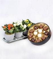Trio Eskitme Saksıda Kalanşo ve Premium Çikolata Kutusu