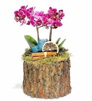 Ağaç Saksısında Orkide