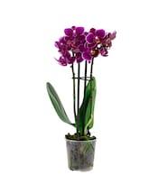 Mini Pembe Orkide