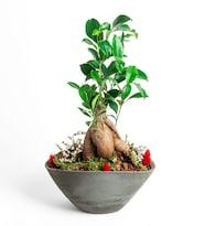 Gri Seramik Saksı Ficus Bonsai