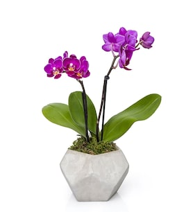 Mini Çift Dal Beton Saksıda Mor Orkide