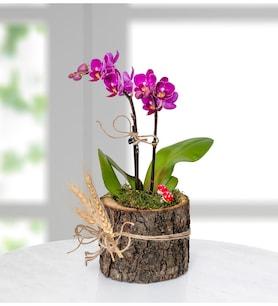 Doğal Ahşap Saksıda Mini Mor Orkide