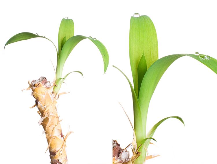 massengena nasıl çoğaltılır
