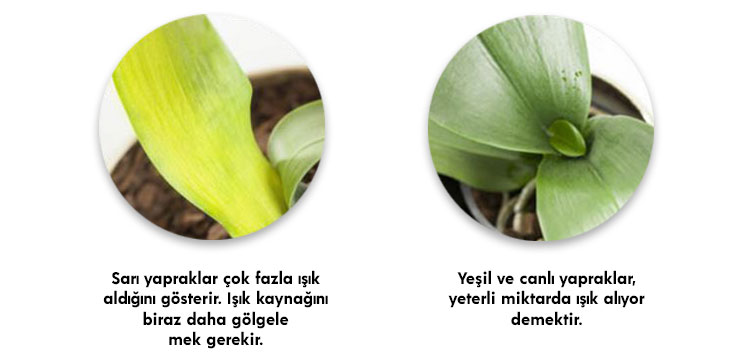 orkide yaprağı sararması sebebi