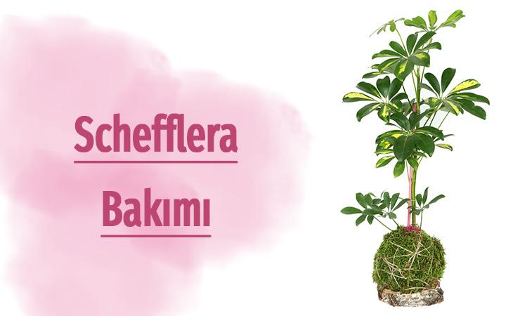 şeflera çiçeği bakımı